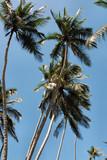 palm trees over blue sky, zanzibar, tanzania poster