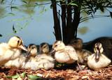 baby ducks 2 poster