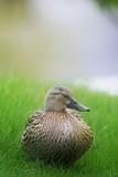duck sleeping poster