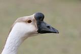 goose closeup poster
