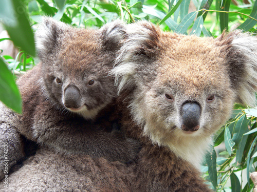 In de dag Koala portrait of a mother and son koala