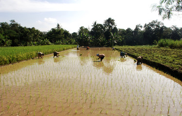 indonesia, java: work in ricefield