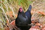 black chicken poster