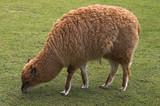 young llama pasturing on green grass poster
