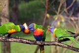 three rainbow lorikeet eating poster