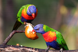 two rainbow lorikeet