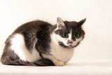 gray-white cat - 2 poster