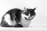 gray-white cat - 1 poster