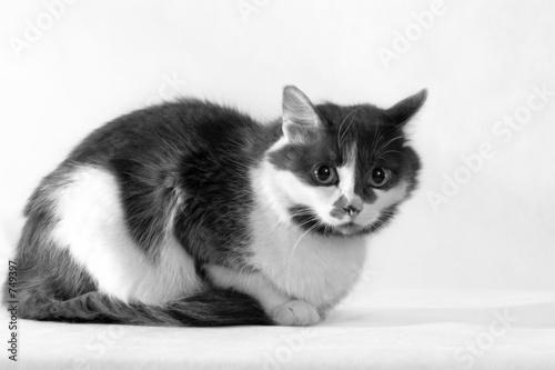 gray-white cat - 1 t-shirt