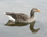 greylag goose poster