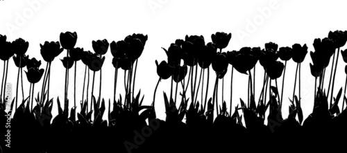 Poster Bloemen zwart wit tulip 2color black