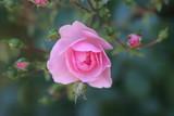 rosa rose mit blüten poster