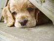 roleta: cocker spaniel puppy peeking through fence