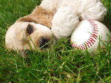 spaniel puppy with baseball poster