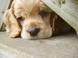 cocker spaniel puppy peeking through fence poster