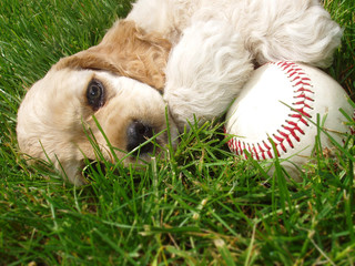spaniel puppy with baseball