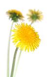 Fototapety dandelions (taraxacum officinale)