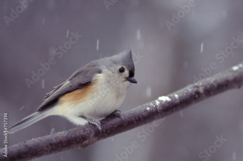 tufted titmouse on a snowy day