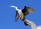white-necked heron poster