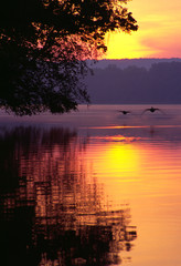 canada geese landing on lake at sunrise