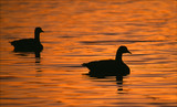 silhouetted canada geese poster