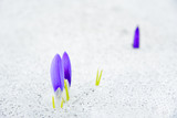 crocus flowers emerging from snow poster