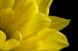 yellow petals poster
