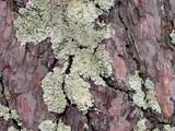lichen on a bark of a tree poster