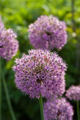 allium aflatunense flower heads