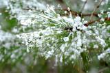 snowy pine needles poster