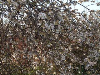 mandelblüte, mallorca