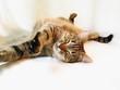 roleta: sleeping cat
