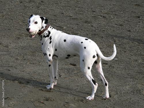 poster of dalmatian dog