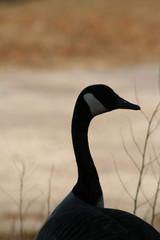 canadian goose 5