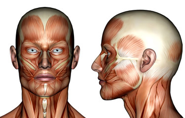 illustration - face muscles