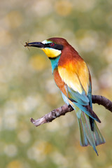bee-eater of colors of the rainbow