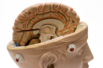 human brain (close view)