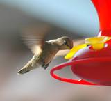 hummingbird feeding poster