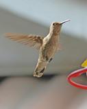 hummingbird hovering poster