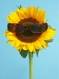sunflower with sunglasses poster