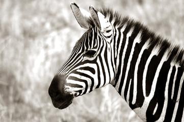 profile of zebra