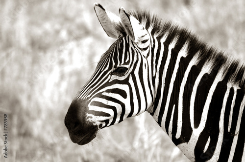 profile of zebra