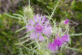 pink cotton thistle poster