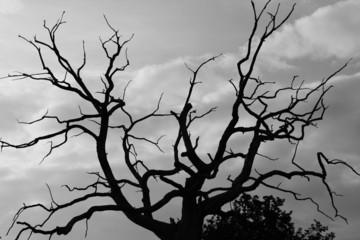 gloomy oak