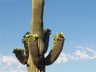 blossoming saguaro iii