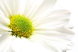 daisy burst poster