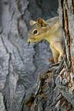 squirrel watching poster
