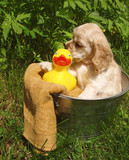 spaniel puppy ready for a bath poster