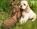 spaniel puppy resting head on old boot poster