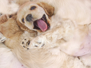 naughty spaniel puppy with litter mates